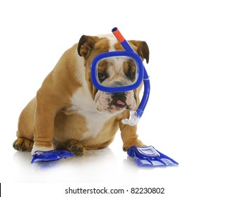 swimming dog - english bulldog wearing snorkeling mask and flippers