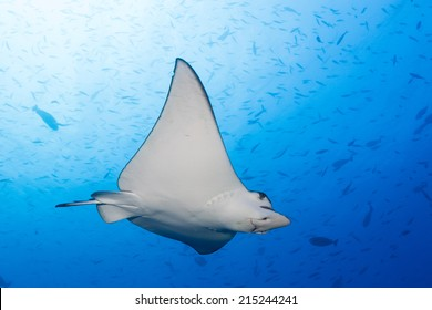 Swimming eagle ray in maldives indian ocean