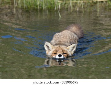 Swimming Fox