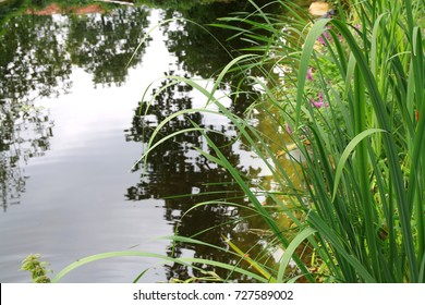 Swimming garden pond, natural swimming pool, biotope, pond suitable for bathing with natural water purification by aquatic plants. Detail of the cleaning plant area.In the foreground, water iris
