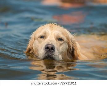 swimming golden retriever
