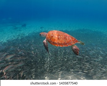 Swimming green sea turtle (Chelonia mydas) and big school of fish in the blue ocean. Underwater animals, shallow sea photography. Aquatic wildlife, scuba diving with the turtles.