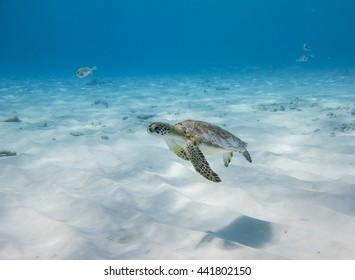 Swimming Green Sea Turtle (Chelonia mydas)