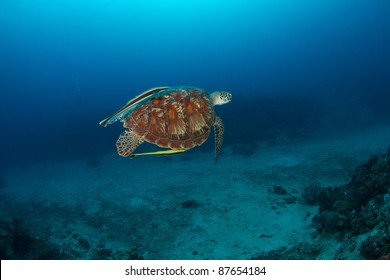 swimming green turtle (Chelonia mydas) with remora (suckerfish) attached