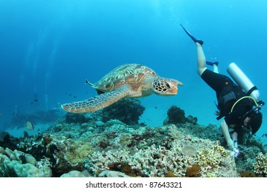 Swimming Green Turtle and diver
