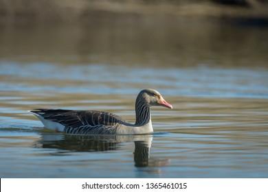 Swimming greylag goose