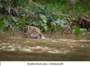 Swimming jaguar looks right looking for prey