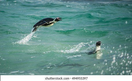 Swimming and Jumping out of water African Penguin. The African penguin (Spheniscus demersus), also known as the jackass penguin and black-footed penguin in Southern African waters.