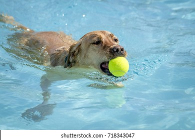 Swimming Labrador Retriever in water of pool with tennis ball in mouth