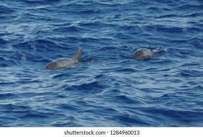 Swimming melon-headed whales