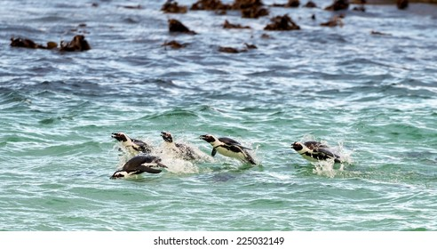 Swimming penguins. The African penguin (Spheniscus demersus), also known as the jackass penguin and black-footed penguin is a species of penguin, confined to southern African waters.
