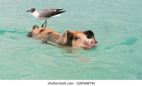Swimming pig with seagull on the Body, Bahamas Exuma