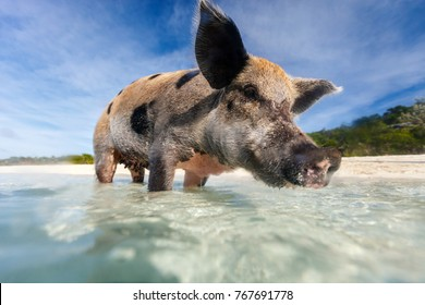 Swimming pig in a water at beach on Exuma island Bahamas