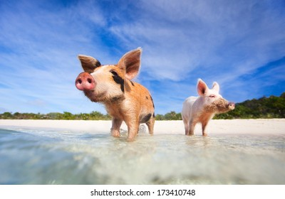 Swimming pigs of the Bahamas in the Out Islands of the Exumas