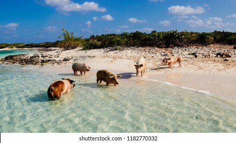 swimming pigs at the bahmas