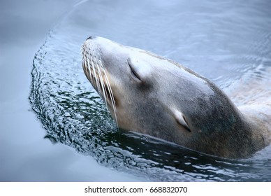 Swimming sea lion with closed eyes