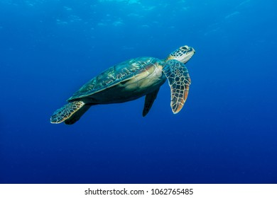 Swimming Sea Turtle (Chelonia mydas)
