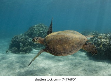 Swimming Sea Turtle With Flippers Out