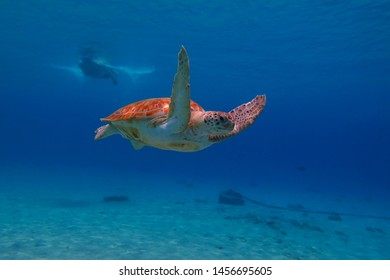 Swimming sea turtle and snorkeling tourist. Snorkeler observing turtles, underwater photography. Tropical blue ocean, marine animal and swimmer. Aquatic life picture.