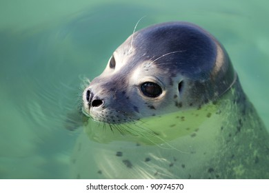 Swimming seals in clean water