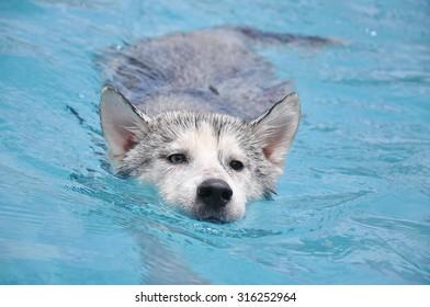 Swimming Siberian Husky