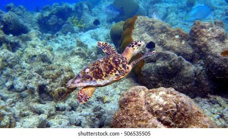 Swimming small hawksbill turtle at bonaire