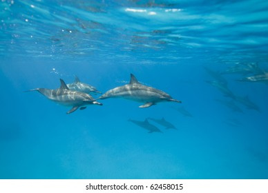 Swimming Spinner dolphins in the wild (Stenella longirostris). Sataya, Southern Red Sea, Egypt.