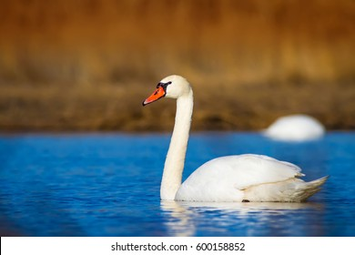 Swimming swan. Blue water and yellow grass background. Bird: Mute Swan Cygnus olor.