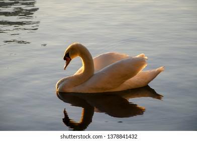 Swimming swan at golden hour.