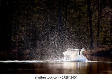Swimming swan splashing water, surrounded by silvery water drops