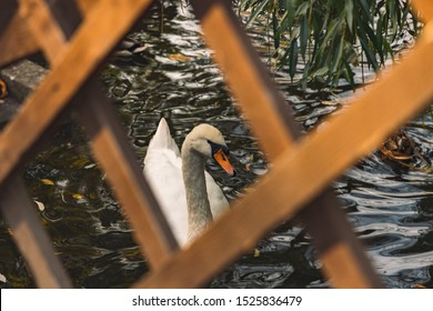 swimming swan tender bird portrait photography in wooden fence rhombus shape frame