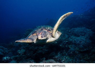 Swimming turtle looks like it is flying over the reef.