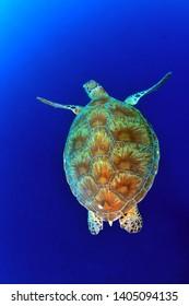 swimming turtle in sipadan island
