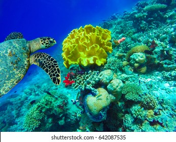 Swimming turtle with a very beautiful yellow cauliflower coral, reef underwater. Maldives island Ukulhas.