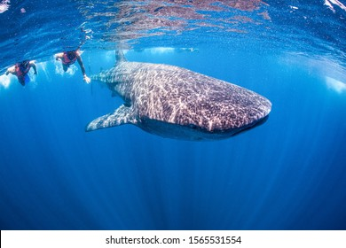 Swimming with Whale Shark in Mexiko