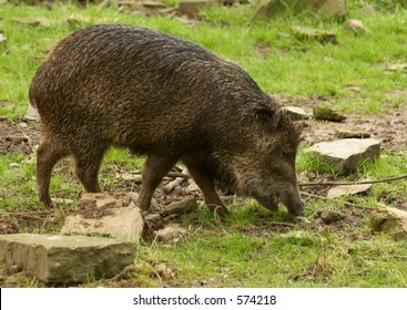 Swine eating grass