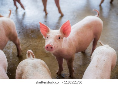 Swine at the farm. Meat industry. Pig farming to meet the growing demand for meat in thailand and international.
