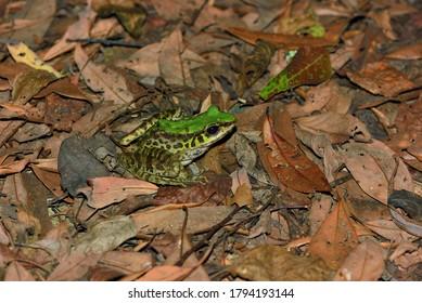 Swinhoe's frog ( Odorrana swinhoana   Boulenger, 1903) - Shutterstock ID 1794193144