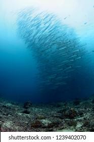Swirling school of barracuda fish