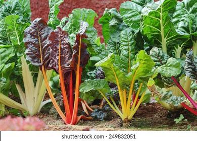 Swiss Chard hydroponics in vegetable garden