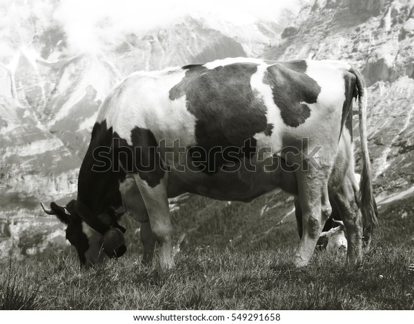 The swiss cow enjoying its meal in front of the alps