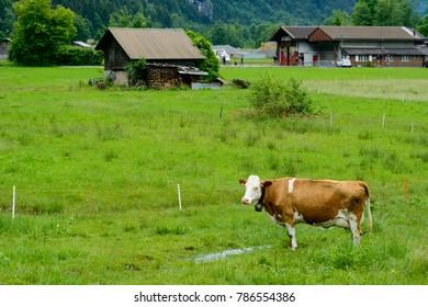 A swiss cow in a meadow in Lauterbrunnen, Switzerland