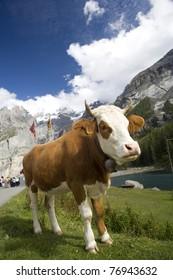 A Swiss cow at Oeschinensee in Switzerland.