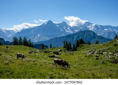 Swiss cows in front of the three famous mountains Eiger, Moench, Jungfrau in the bernese alps (oberland)