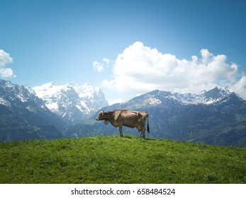 Swiss Cows in the Mountain