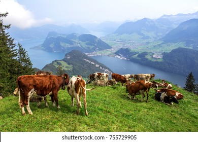 Swiss cows on the rocky mountain views and hiking trail in the Swiss Alps landscape from Pilatus Kulm, Switzerland
