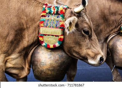 Swiss cows with traditional cowbells