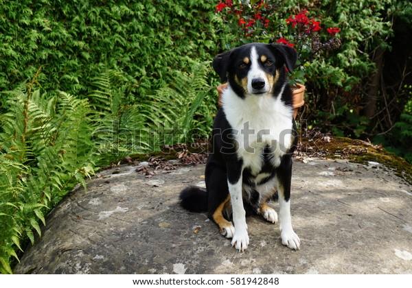 swiss dog