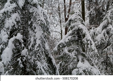 A Swiss forest covered in snow