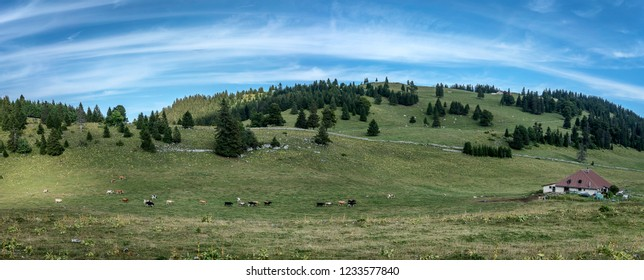 In the swiss Jura, cows coming back to home